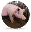 Afbeelding: Sow gestation2 prod icon